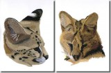 BFC0996 Two Serval Portraits