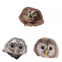 BFC1647 Three Baby Owl Portraits