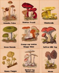 BFC1661 Vintage Mushrooms