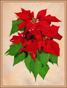 BFC1623 Large Poinsettia