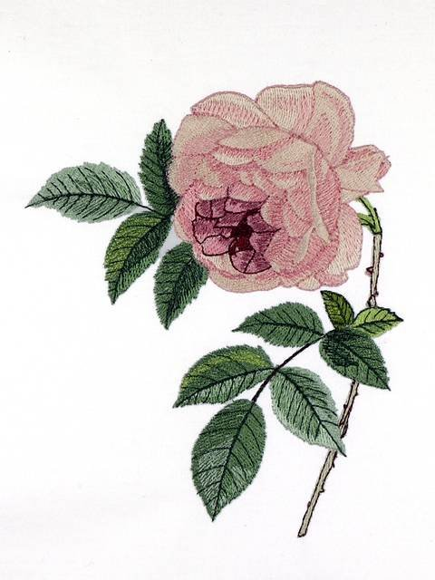 BFC0929 Redoute Roses